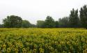 """一组""""向阳花""""——拍摄于奥森公园"""