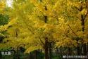 东坝郊野公园的大片银杏树,感觉很温暖!