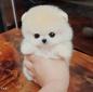 超可爱顶级纯种哈多利博美幼犬