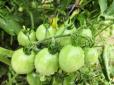周末农家院采摘纯绿色蔬菜!