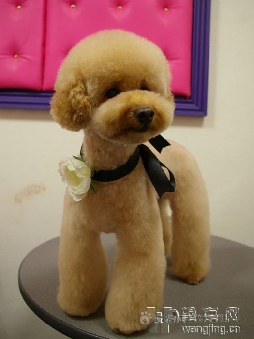 贵宾犬造型图赏--泰迪