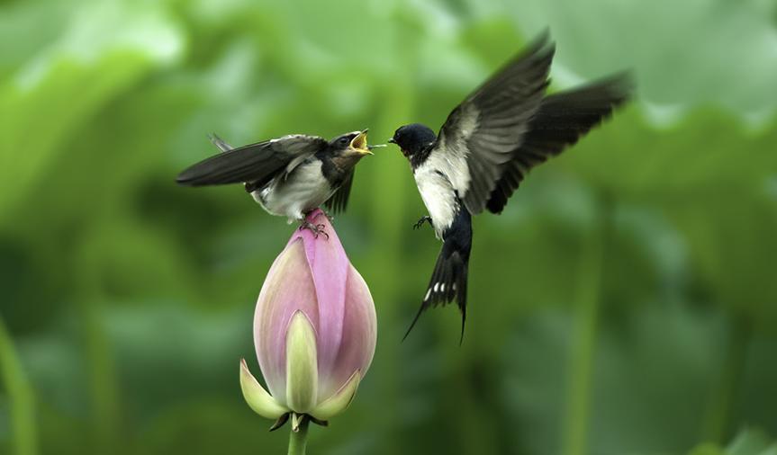 荷燕- 拍摄于圆明园